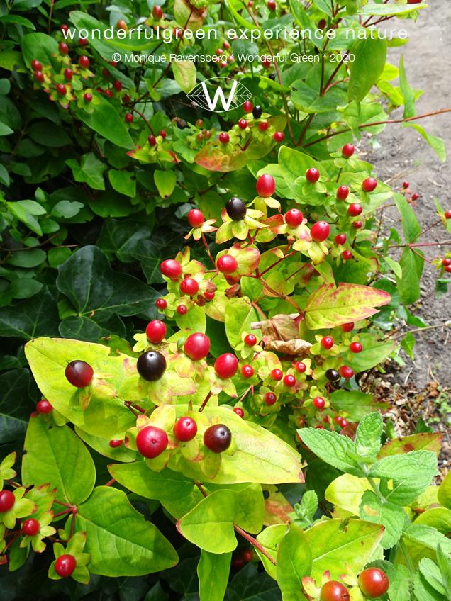 natuurwijs-Jan-Toorop-schooltuin-berries